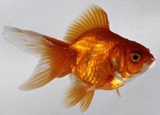 Il pesciolino rosso dituttounpo 39 for Pesci da laghetto mangia zanzare